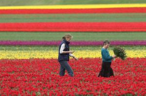 Dues dones recullen tulipes a Alemanya /GETTY IMAGES
